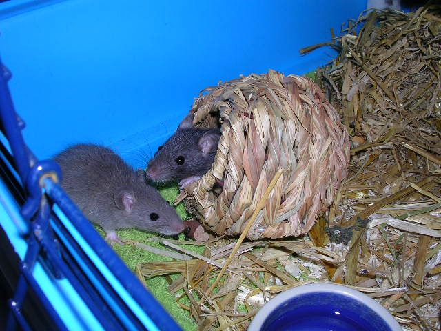 ratte grau weiss